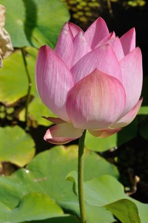 lotus flowers: Lotus flowers in a pond