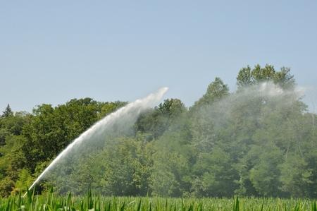 water sprinkler: Water sprinkler installation in a field of maize