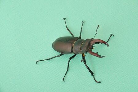 cervus: Stag beetle - Lucanus cervus  Stock Photo