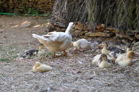 farmyards: duck in a farmyards in Dordogne Stock Photo