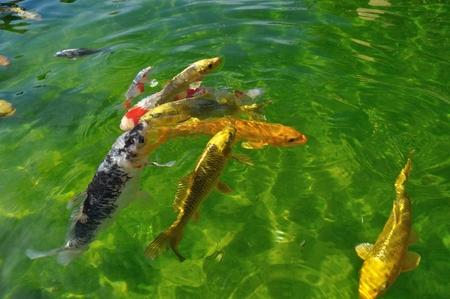 koi: Koi carps in pond