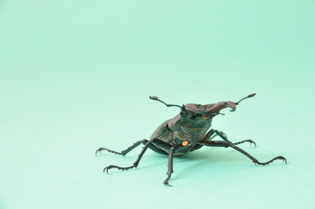 Stag beetle - Lucanus cervus  Stock Photo