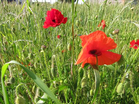 rurale: Poppies in meadow Stock Photo
