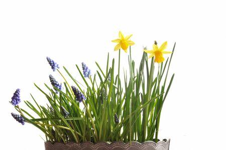 Muscari and daffodils Stock Photo
