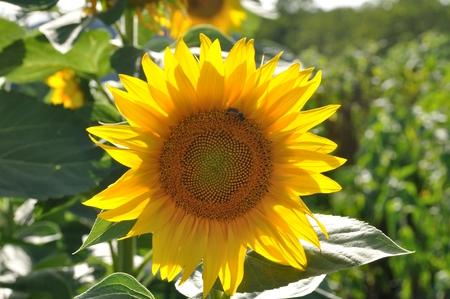 sun energy: sun flower field  Stock Photo