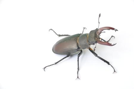 Stag beetle - Lucanus cervus Stock Photo
