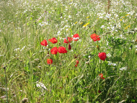 Poppies in meadow Stock Photo