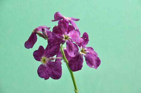 Purple wallflower Stock Photo