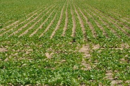 aligned: Beet field in Normandy