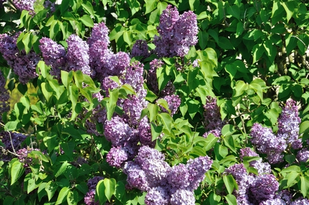 Lilac blossoms  in springtime Stock Photo