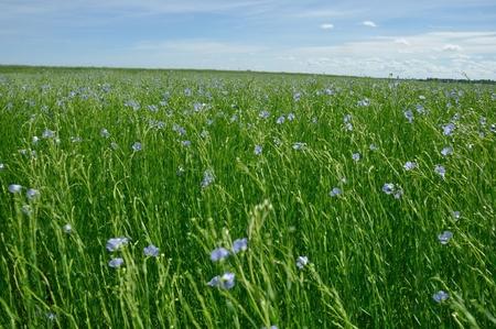 Flowering flax field