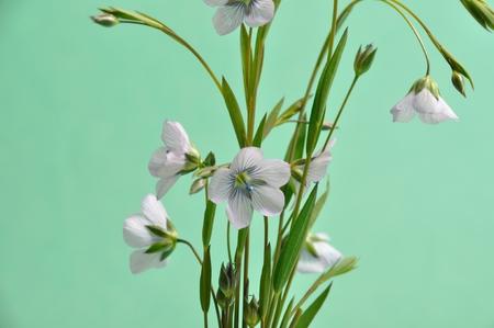 Close-up on flax flowers, studio shot Stock Photo