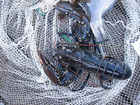 Breton lobster in a fishing net