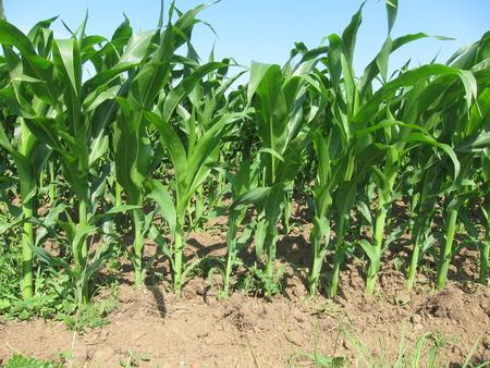 Corn  field in  Spring background.