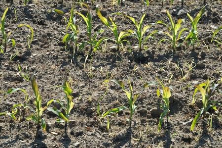 Corn field in Spring