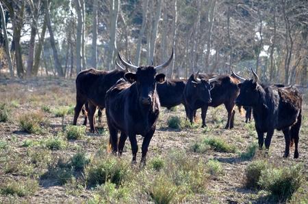 bulls in Camargue