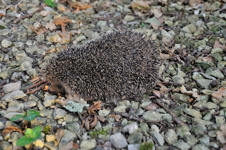 Hedgehog in the driveway of a garden