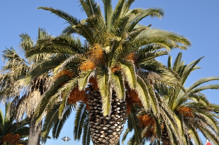 Date palm in south of France Stock Photo