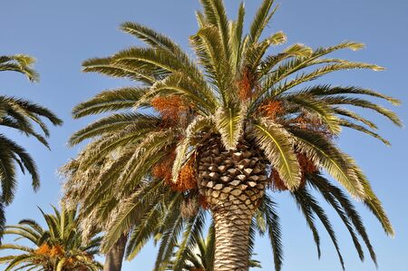 Date palm in south of France Imagens