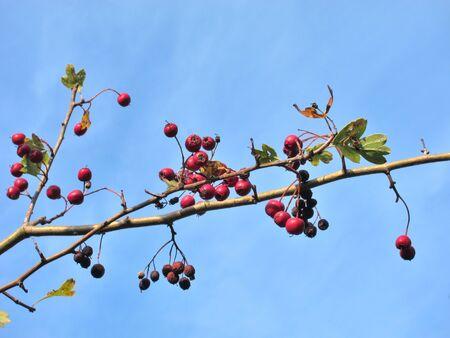 Hawthorn fruits in Brittany Archivio Fotografico