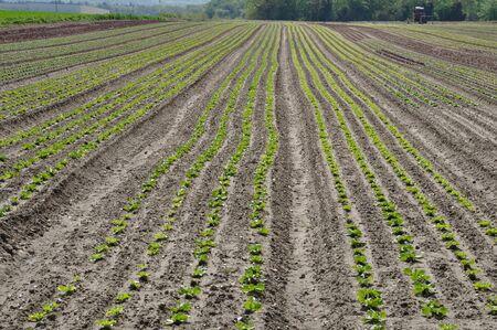 Vegetable crops in Normandy