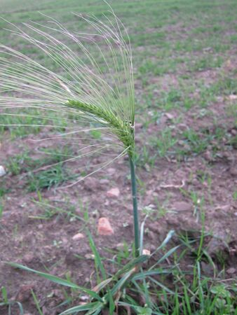 Barley ears in January in Brittany (global warming) Stock Photo - 140043137