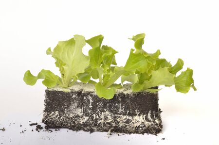 Batavia salad plants Stock Photo