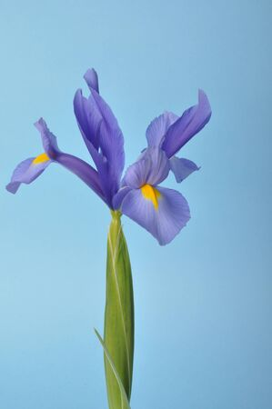 leaf iris in sword on a blue background
