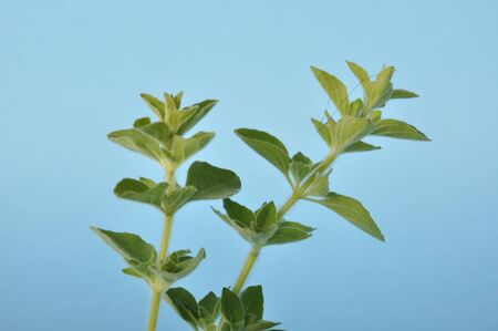 oregano on a blue background Zdjęcie Seryjne