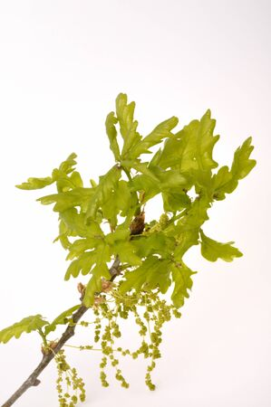 Flowering oak on a white background