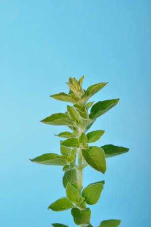oregano on a blue background Banque d'images
