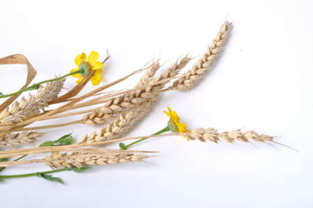Wheat and golden daisies on white background