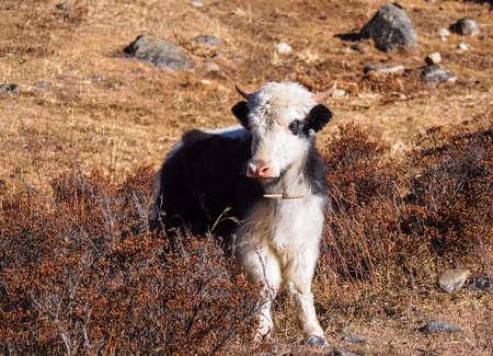 yak calf   Himalayas, Langtnag, Nepal
