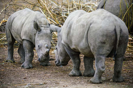 Picture of two white Rhinos in the wild Stock Photo