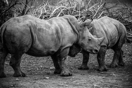 Picture of two white Rhinos in the wild Imagens