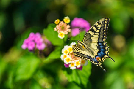 Swallowtail butterfly sitting on the flower with green background