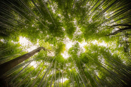 Picture of Bamboo Forrest shot straight up into the sky with fish-eye lens.