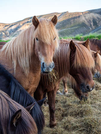 The Icelandic horse is a breed of horse developed in Iceland. Although the horses are small, at times pony-sized, most registries for the Icelandic refer to it as a horse.