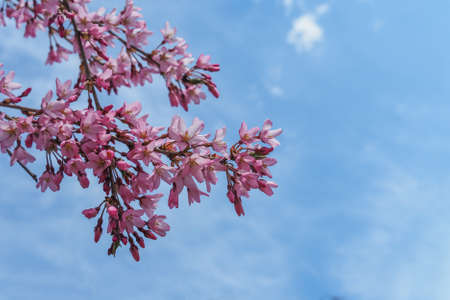 Blooming cherry tree branches against a cloudy blue sky Imagens