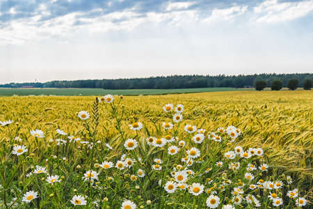 Landscape of green oat field and woods in the distance ahead of the rain. In the foreground, blossoming white scentless Mayweed