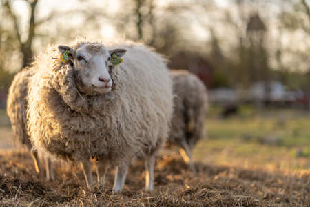 Picture of sheep on the coutry side farm during sunset