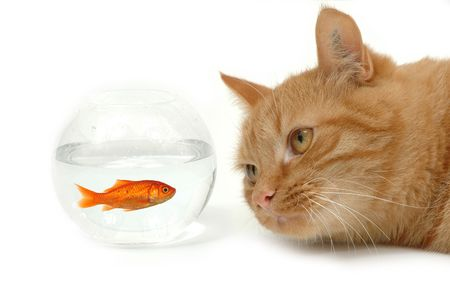 Cat is lokking at a fish in a bowl. Note the fish is still alive and in well being. Stock Photo - 596839