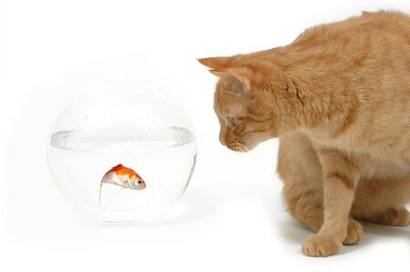 Cat is lokking at a fish in a bowl. Note the fish is still alive and in well being. Stock Photo - 596837