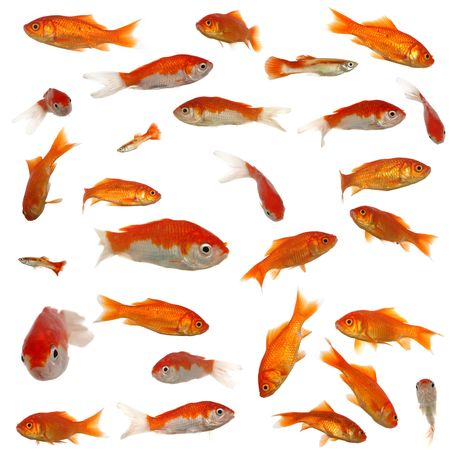 Many goldfish in different sizes and patterns. Original size is 4000 x 4000 pixels. photo