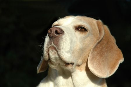 sniffing: Dog is sniffing sent in the air. Stock Photo