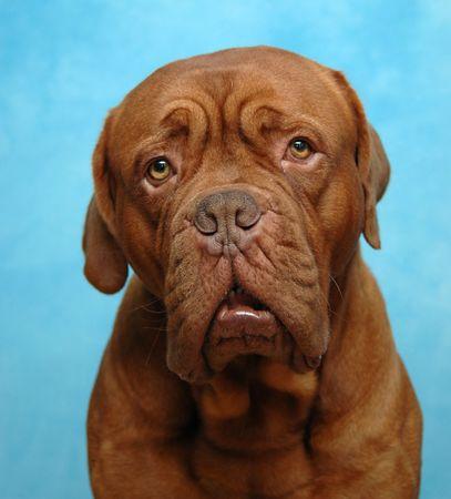 perro triste: Perro triste. Tomado en estudio en fondo azul. Foto de archivo