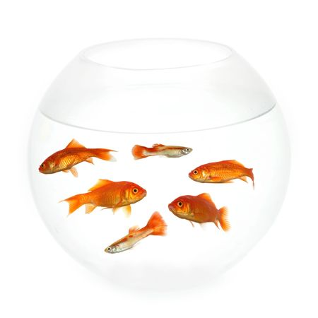 Goldfish swimming in a fishbowl. Taken on clean white background. Stock Photo - 697316