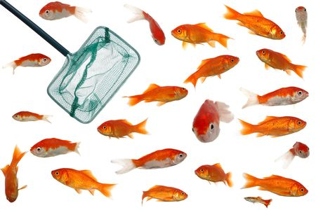 Fishingnet is in an aquarium full of goldenfish. Clean white background. Stock Photo - 697313