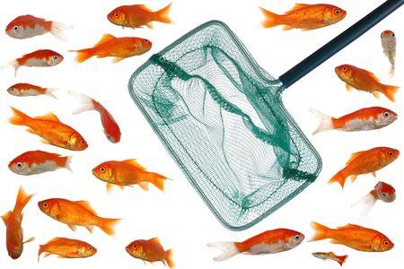 Fishingnet in fishtank whith many goldfish. Clean white background. Stock Photo - 697312