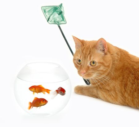 Cat is holding a fishingnet, ready to catch goldfish.